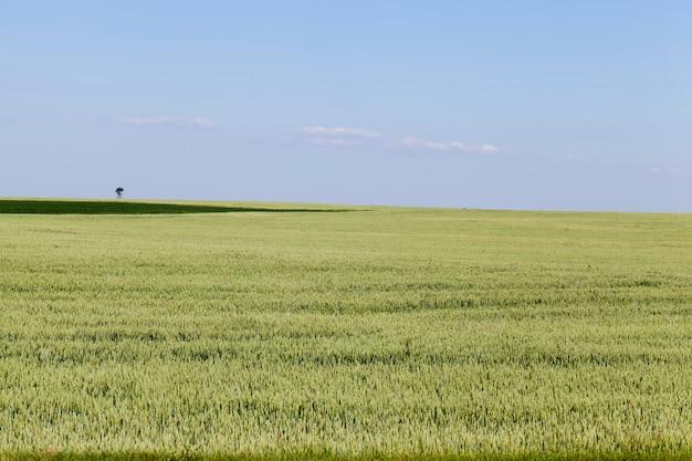Ein landwirtschaftliches feld, auf dem roggen angebaut wird und getreide angebaut wird, um die bevölkerung mit nahrung zu versorgen