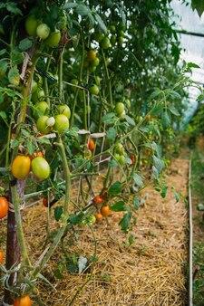 Ein langes tomatenbeet im gewächshaus auf dem bauernhof. hohe büsche von pflanzen. pflanzen ernten und pflegen.