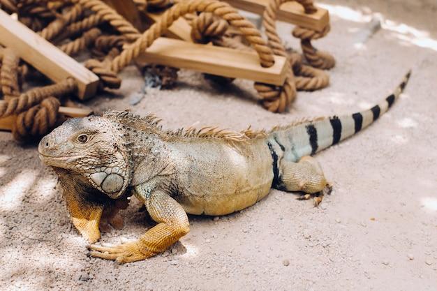 Ein leguan auf einem reservat auf der insel mauritius, ein großer eidechsenleguan in einem park auf der insel mauritius.