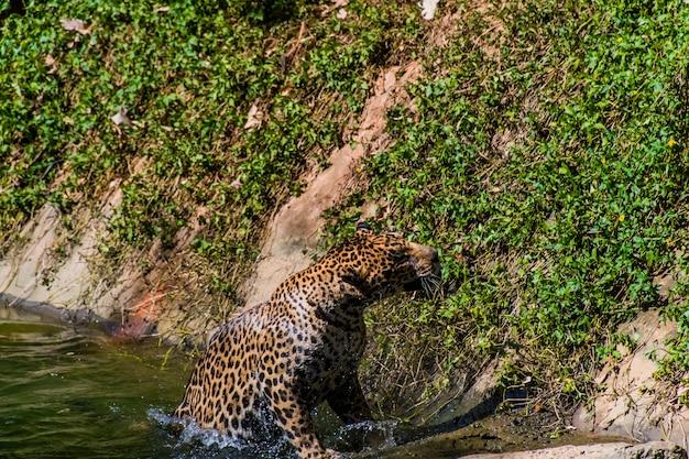Ein leopard erhebt sich aus dem teich.