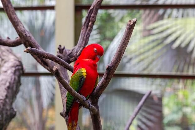 Ein leuchtend roter papagei mit grünen flügeln auf einem trockenen ast. malaysia