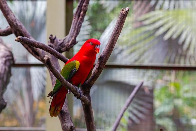 Ein leuchtend roter papagei mit grünen flügeln auf einem trockenen baum. malaysia