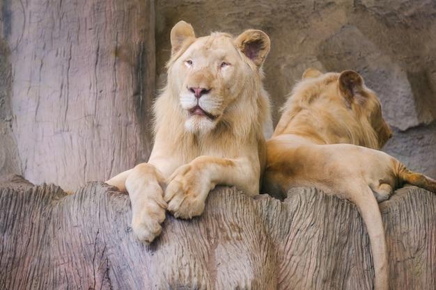 Ein löwe auf einer felsigen klippe mit morgensonne.