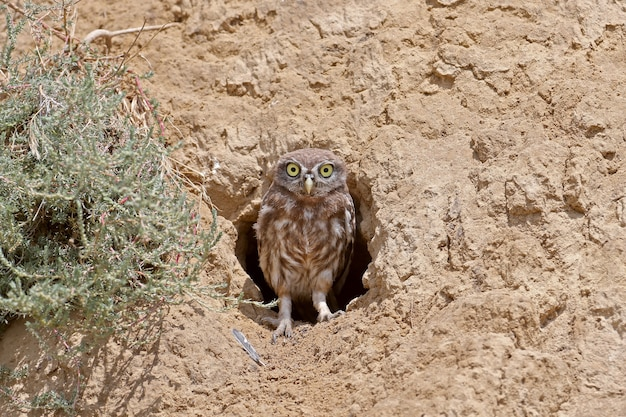 Ein lustiges kleines eulenküken steht neben seinem nest und schaut