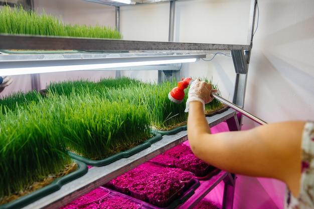 Ein mädchen gießt mikrogrünsprossen aus nächster nähe in einem modernen gewächshaus. gesunde ernährung.