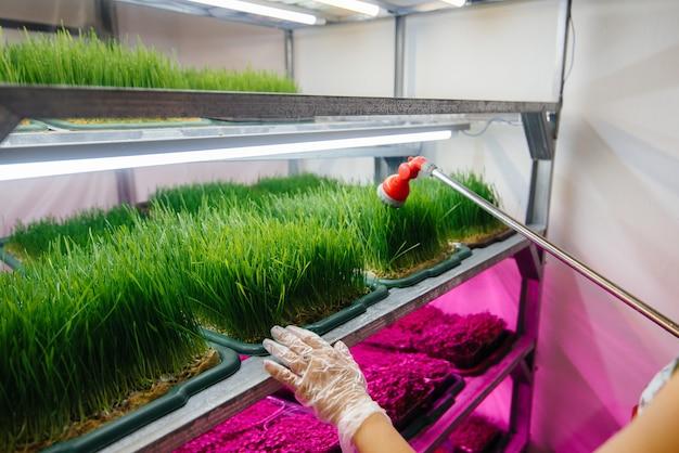 Ein mädchen gießt mikrogrünsprossen nahaufnahme in einem modernen gewächshaus