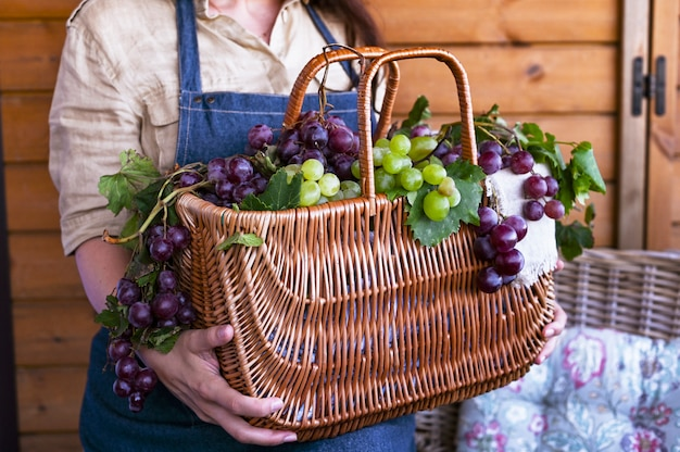 Ein mädchen mit einem korb erntet weinberge, sammelt ausgewählte trauben in italien für eine große herbsternte. biologische, biologische lebensmittel und feine handgemachte weine.