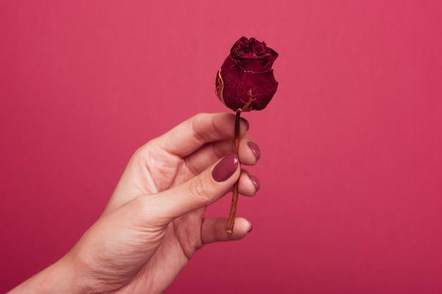 Ein mädchen mit maniküre hält in ihren händen eine verwelkte getrocknete rose auf einem rosa hintergrund.