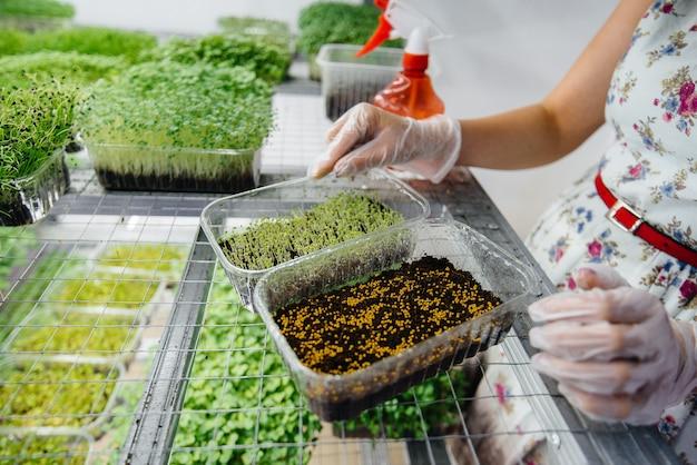 Ein mädchen pflanzt samen von mikrogrün-nahaufnahme in einem modernen gewächshaus