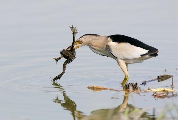 Ein männchen mit erfolgreicher jagd auf zwergdommel. mit einem frosch im schnabel.
