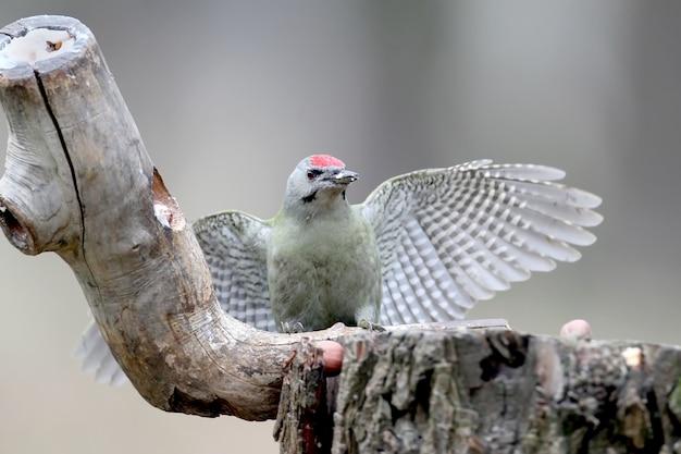 Ein männchen mit grauem specht sitzt auf einem waldhäuschen und zeigt offene flügel. ein vogel