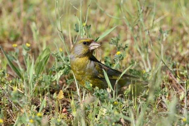 Ein männlicher grünfink sitzt auf dem boden und frisst ein grünes gras