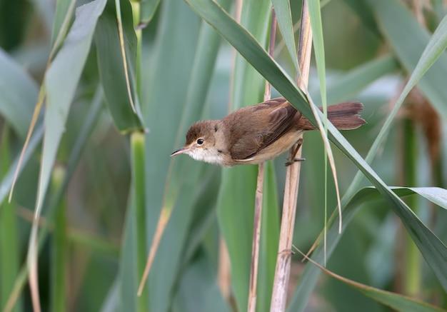 Ein männlicher reisfeldsänger (acrocephalus agricola) sitzt auf einem schilf im sanften morgenlicht.