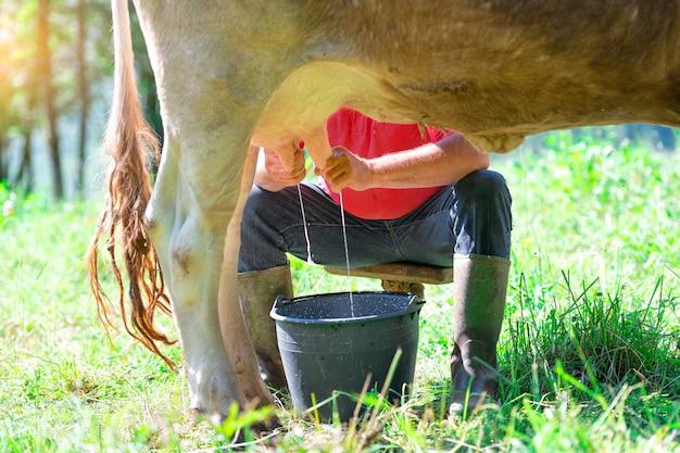 Ein mann, der eine kuh auf der wiese melkt. im manuellen modus