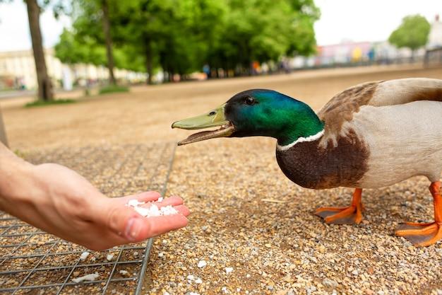 Ein mann füttert in einem stadtpark eine ente aus seinen händen. die lustige ente jubelt.