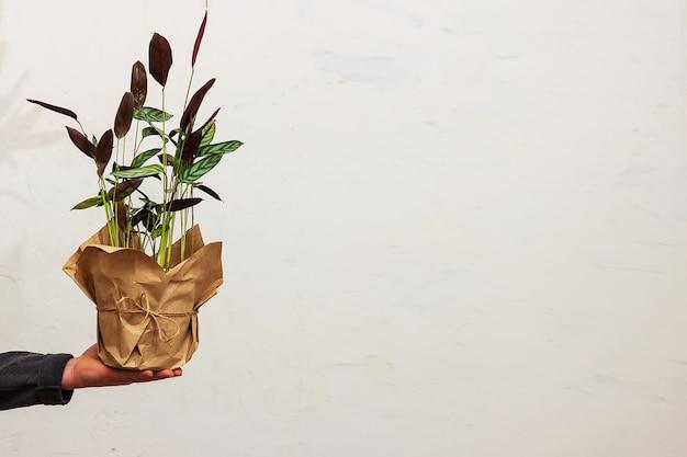 Ein mann hält einen topf mit einer blume vor dem hintergrund der wand in der hand. umweltfreundliche verpackung für topfpflanzen. ktenana blume