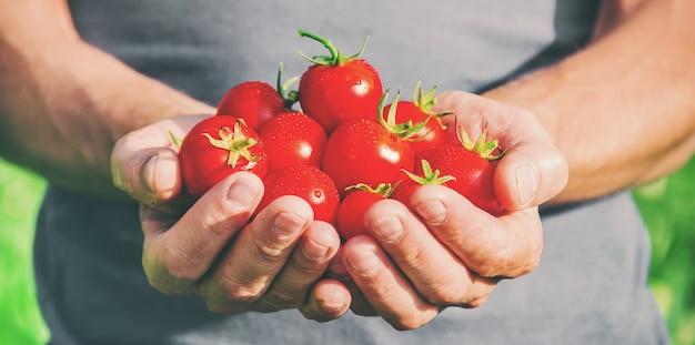 Ein mann hält hausgemachte tomaten in seinen händen. selektiver fokus