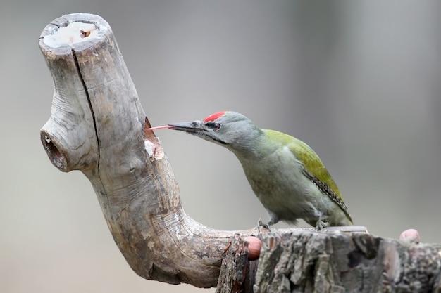 Ein mann mit grauem specht sitzt auf einem waldhäuschen und zeigt eine lange rote zunge. ein vogel