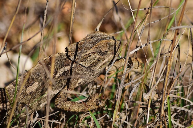 Ein mediterranes chamäleon, das sich auf der garigue-vegetation in malta aalt und spaziert.