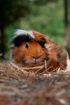 Ein meerschweinchen auf etwas stroh