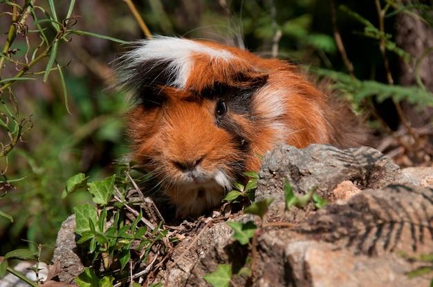 Ein meerschweinchen in einem busch