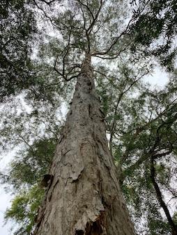 Ein melaleuca cajuputi-riesenpflanzen-potrait, allgemein bekannt als cajuput