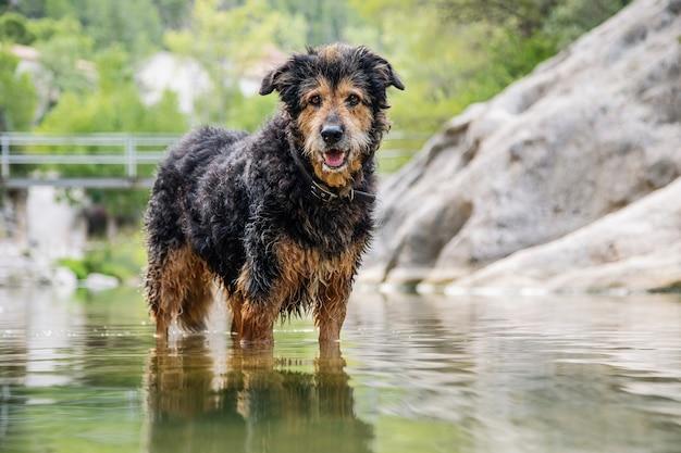 Ein mischlingshund spielt im fluss