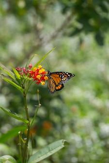 Ein monarchfalter hockt auf einer mehrfarbigen blume auf dem gebiet.