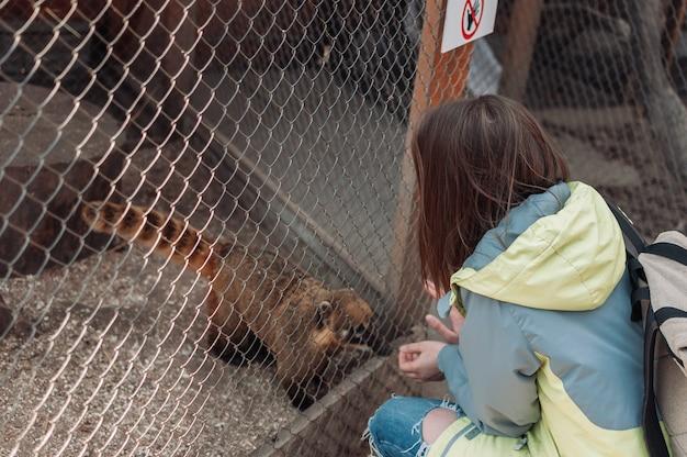 Ein nasenbär klettert auf ein käfiggitter im familienzoo. das mädchen füttert die nasua durch die gitterstäbe. wilde tiere aus willen