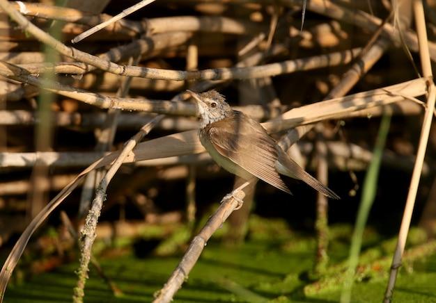 Ein nasser rohrsänger (acrocephalus arundinaceus) sitzt nach einer erfolgreichen jagd im sanften sonnenlicht auf einem schilf. nahaufnahmefoto