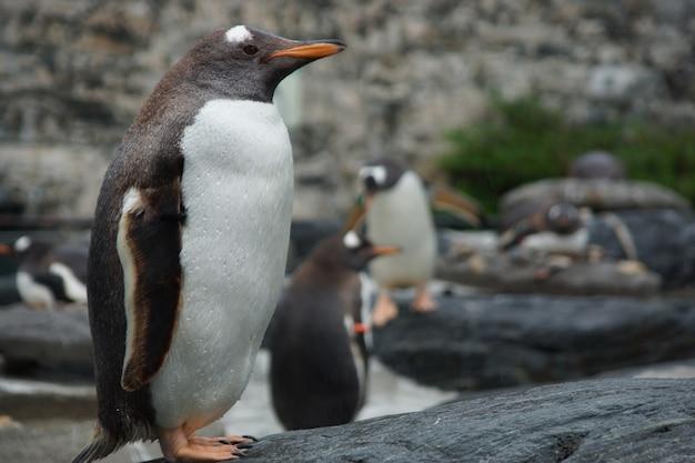 Ein nasser trauriger pinguin steht im regen.