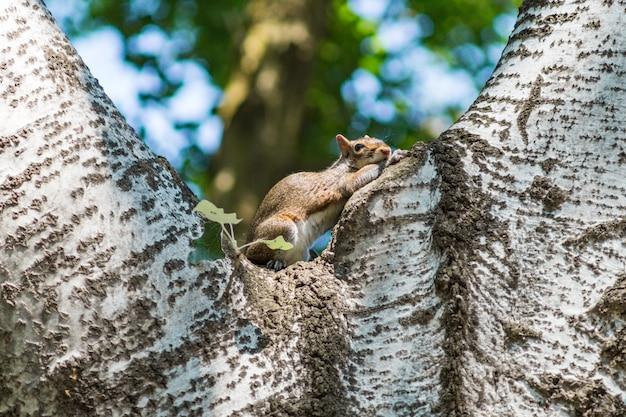 Ein neugieriges graues eichhörnchen, das auf einem baum stillsteht