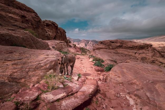 Ein niedlicher esel weidet in den roten bergen in der stadt petra jordan.