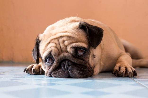 Ein niedlicher pughund mit einem traurigen, fetten gesicht, schlaf