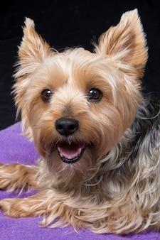 Ein niedlicher und reizender junger hund yorkshires terrier