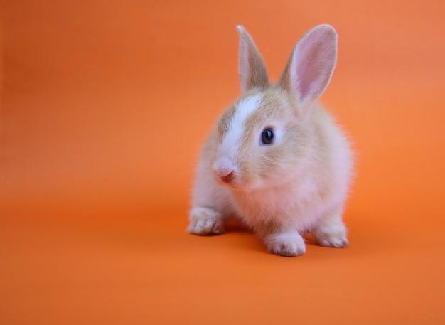 Ein niedliches kaninchen auf orange