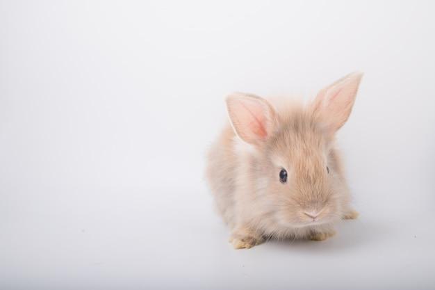 Ein niedliches kleines braunes kaninchen, das auf einem weißen hintergrund läuft.