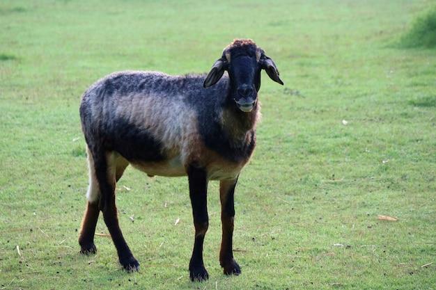 Ein niedliches schwarzes und braunes schaf, das auf grünem gras an einer farm steht. tier- und naturkonzept.