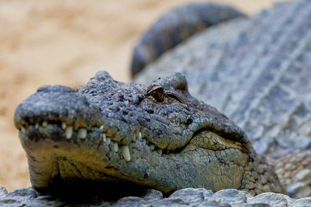 Ein nilkrokodil, crocodylus niloticus