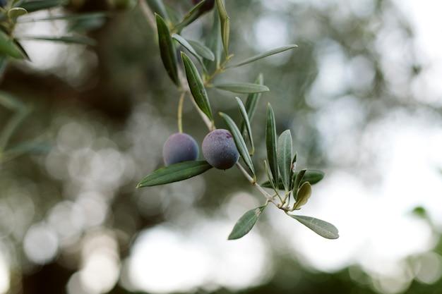 Ein olivenzweig mit oliven