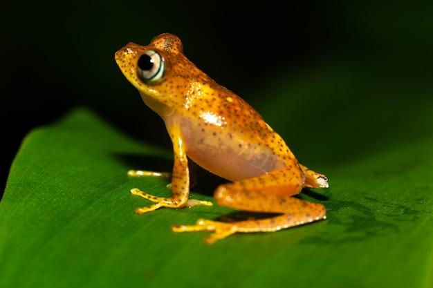 Ein orangefarbener kleiner frosch auf einem grünen blatt in madagaskar