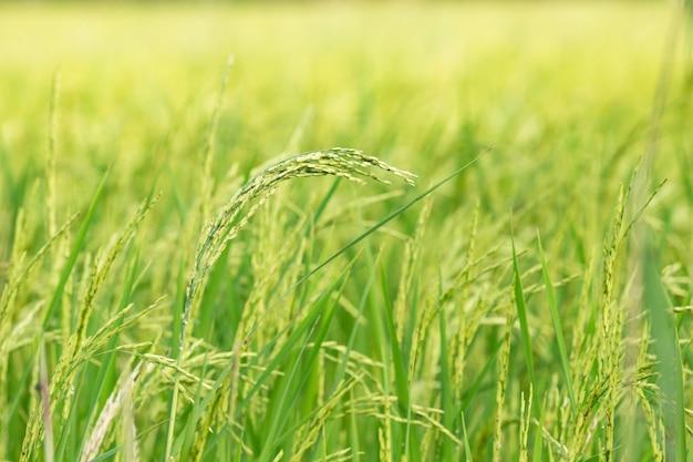 Ein organischer asiatischer goldener reisbauernhof während der sonne stellte in die landschaft von thailand ein.