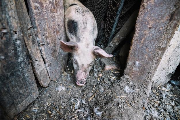 Ein overhead vie des schweins, das aus dem schweinestift herauskommt