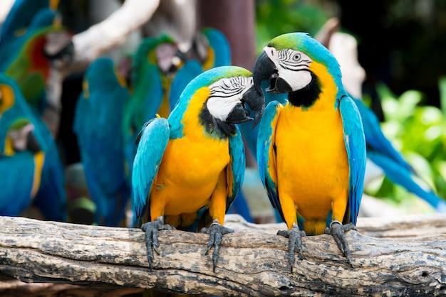Ein paar blau-und-gelbe keilschwanzsittiche, die an der hölzernen niederlassung im dschungel hocken. bunte macawvögel im wald.