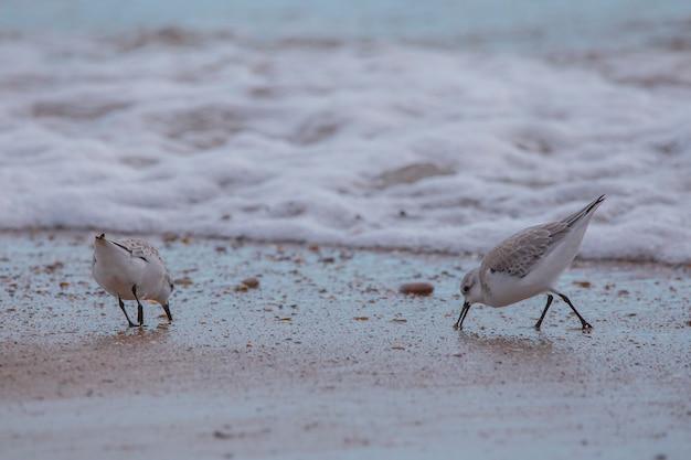 Ein paar dunlin in saler beach