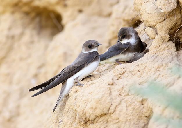 Ein paar europäischer sandmartin, bankschwalbe in der nähe von nest.