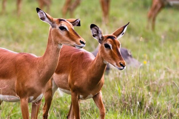 Ein paar impalas. nakuru see, kenia