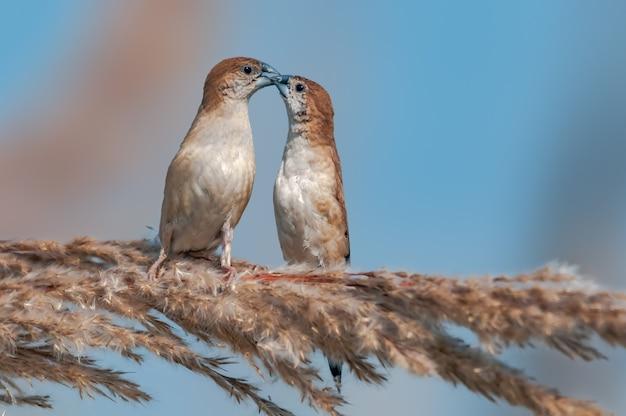 Ein paar indischer silbervögel, die sich von einem busch ernähren