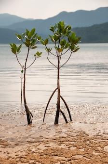 Ein paar lustige junge mangrovenbäume bei ebbe, beleuchtet von einem sanften sonnenlicht iriomote island