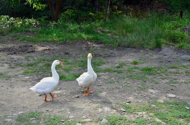 Ein paar lustige weiße gänse gehen entlang dem schmutzigen grasartigen hof